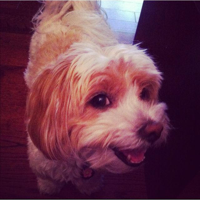 Honey the Havanese!