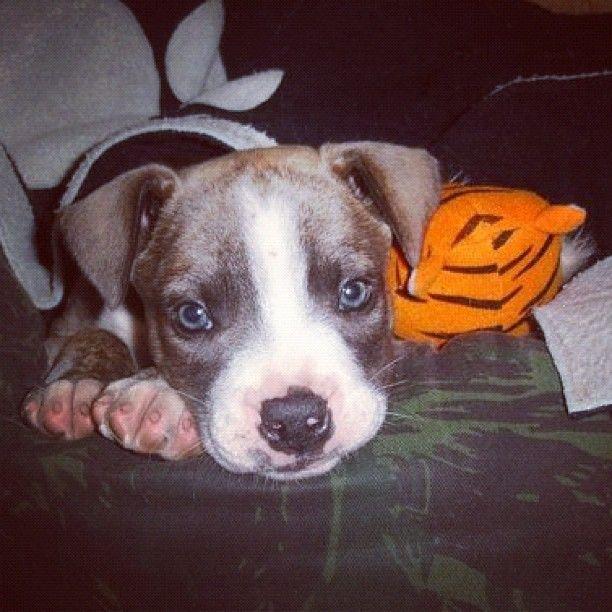 cute baby dog - Cimarron Uruguaio