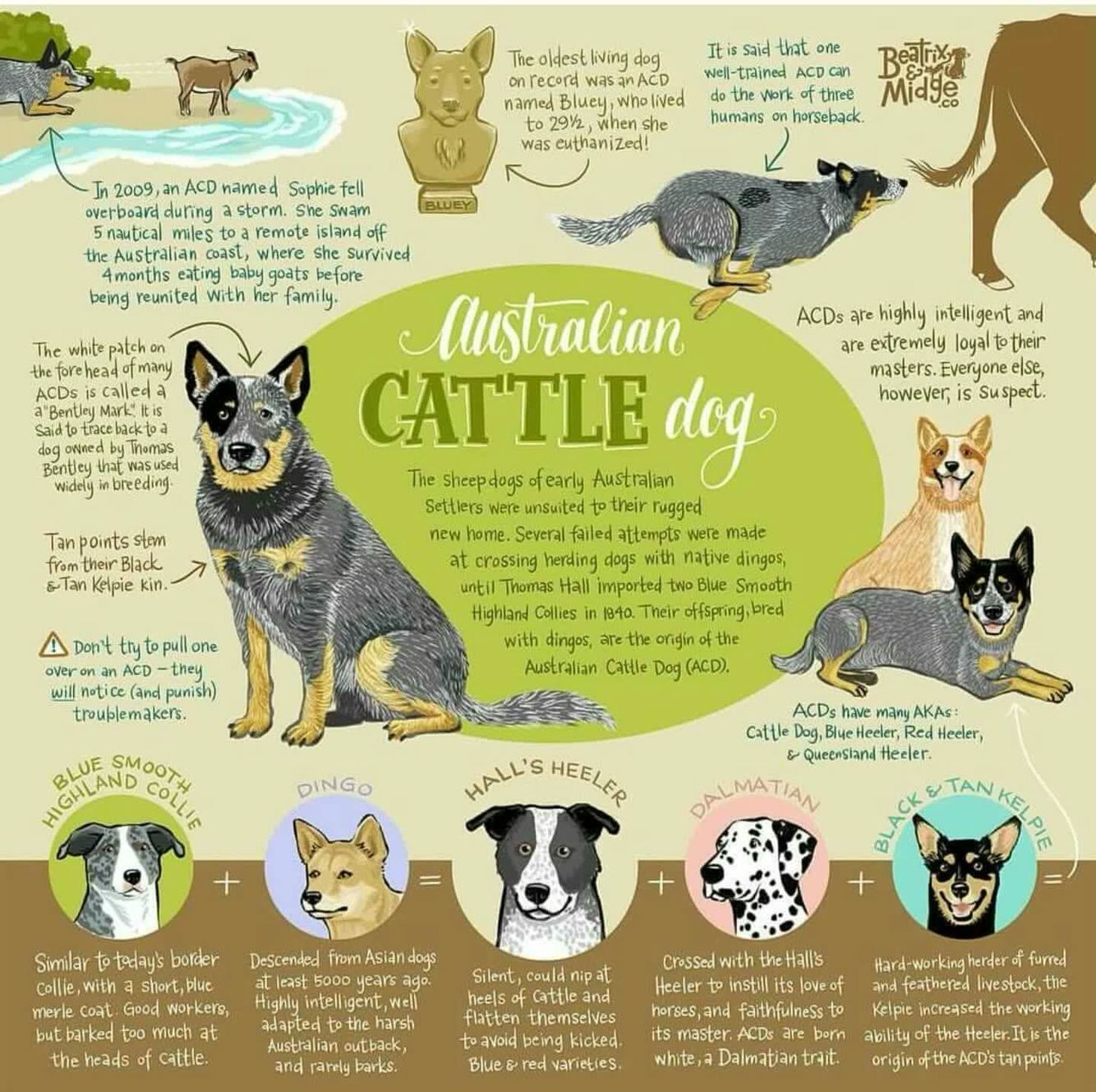 History Of Australian Cattle Dog In 2020 Cattle Dog Dog Infographic Blue Heeler