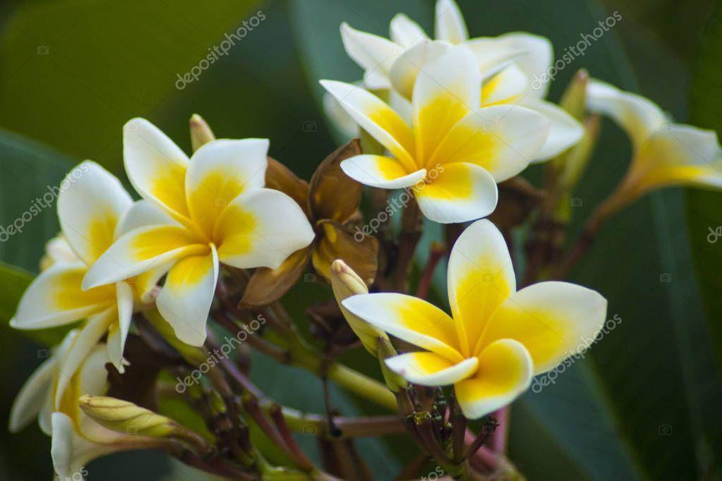 Beautiful Frangipani Plumeria Flower Photo Stock Photo Spon Plumeria Frangipani Beautiful Stock Ad In 2020 Flower Photos Frangipani Plumeria