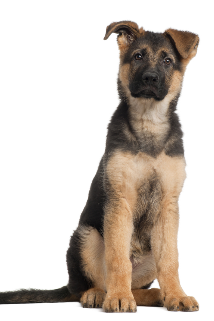 German Shepherd Puppy 3 Months Old Sitting In Front Of White