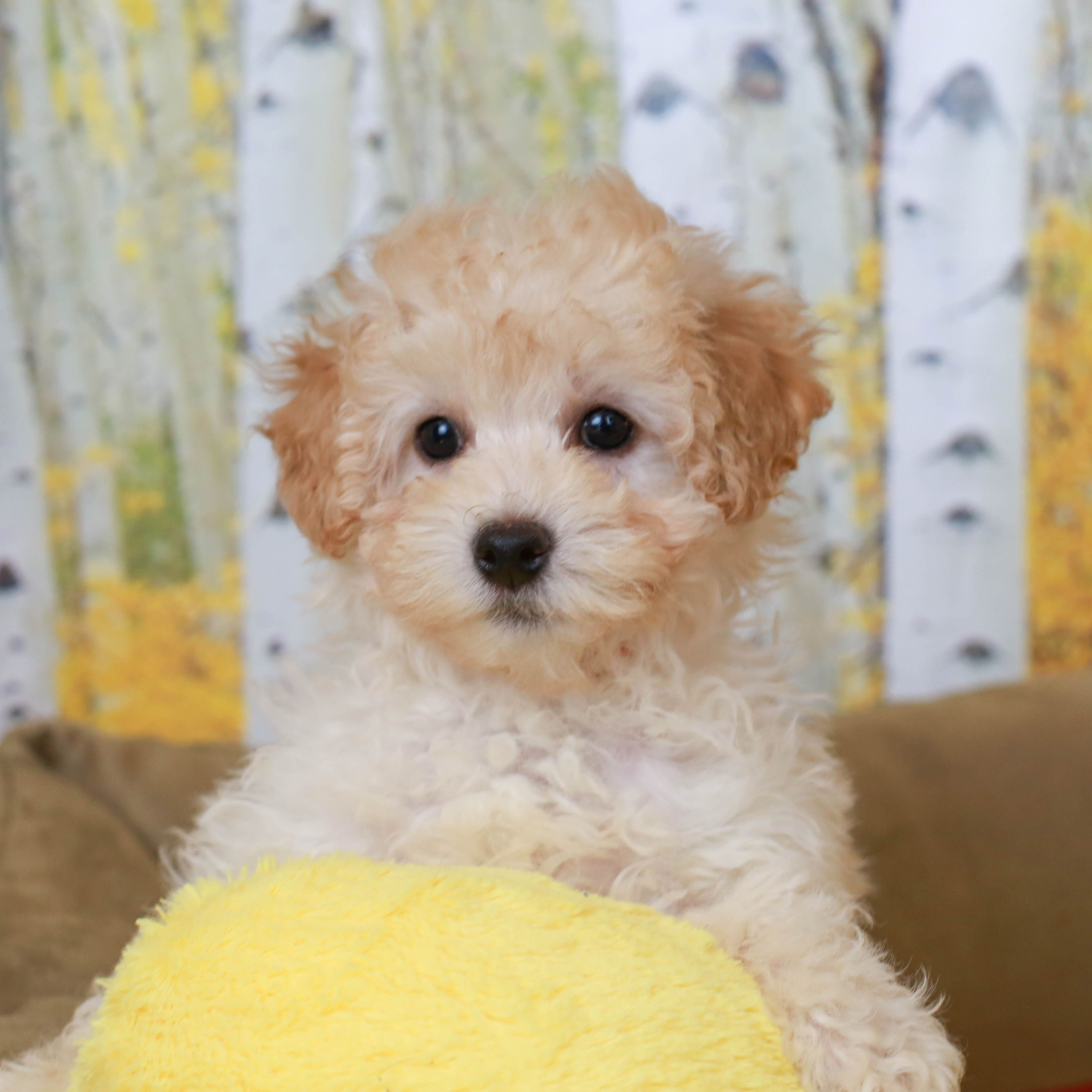 Mini Goldendoodles are bred to be the perfect companion
