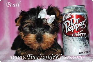 Yorkshire Terrier Dog Puppy Website Listings At Puppysites Com