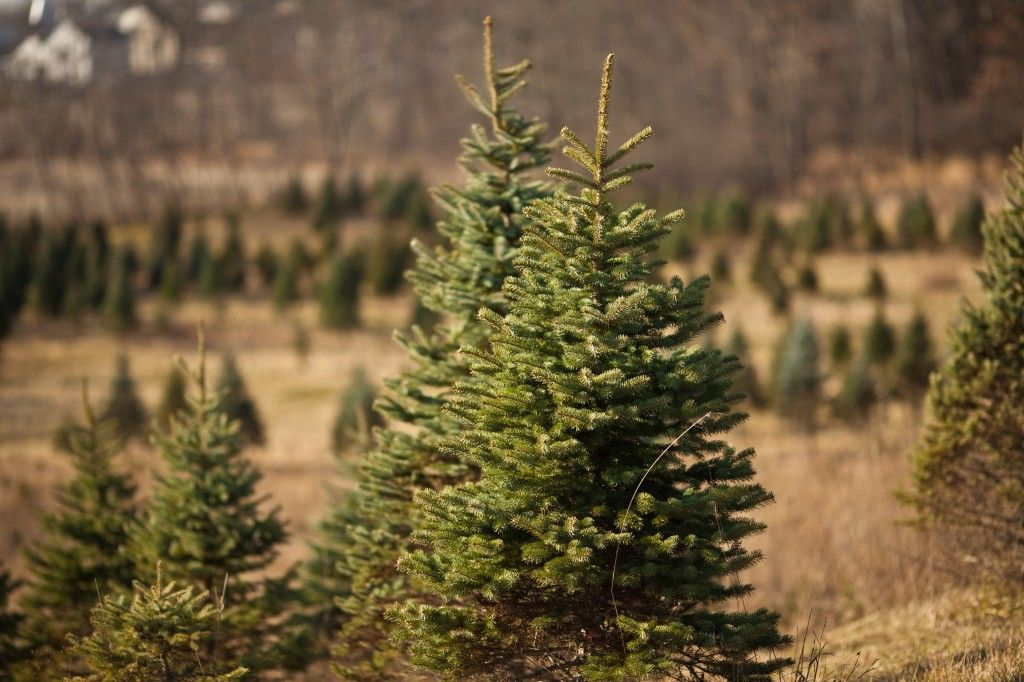 Michigan Christmas Tree Farms The Tree Farms Christmas Tree Farm Michigan Christmas
