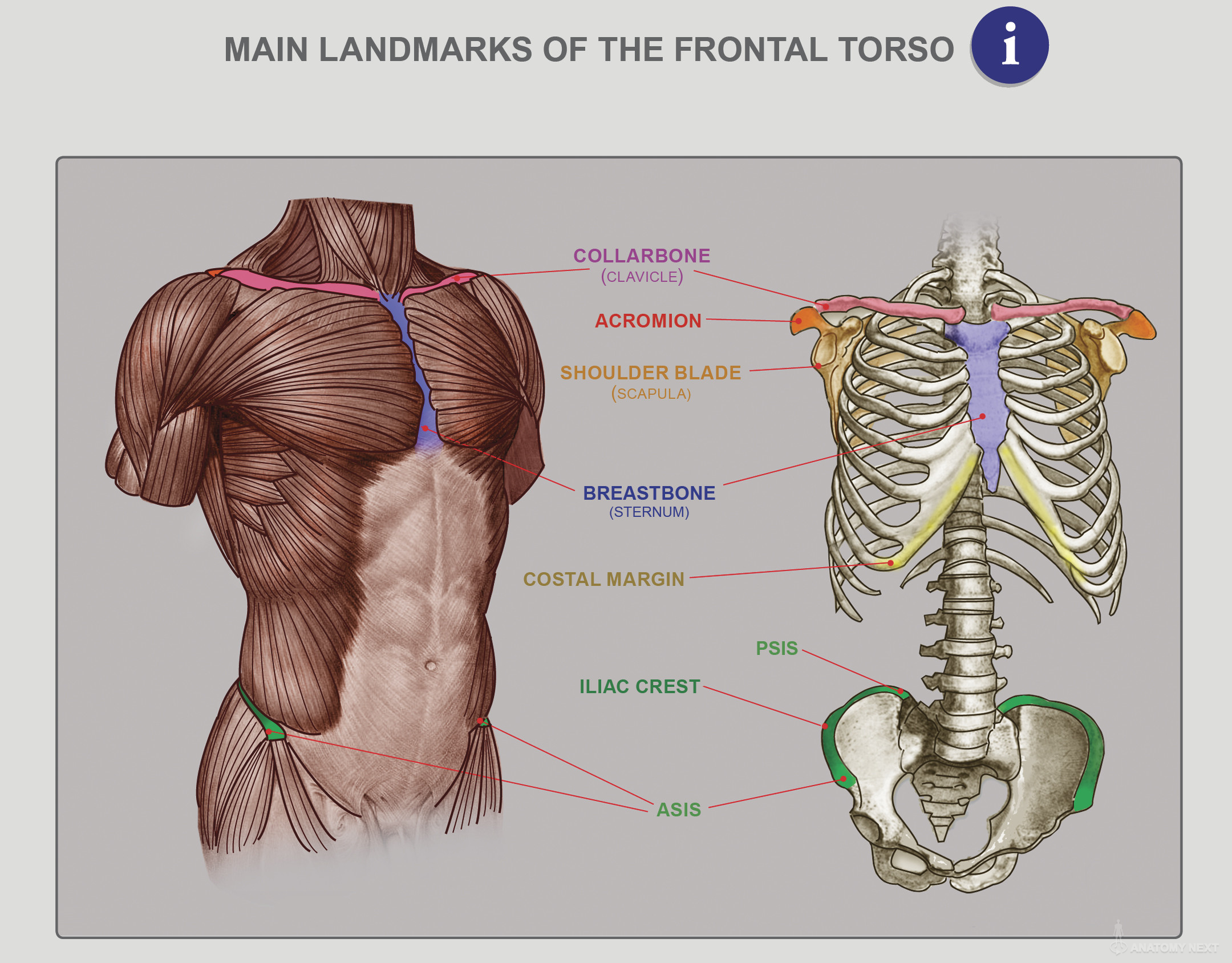 Funky Anatomy Of The Torso Gift - Anatomy Ideas - yunoki.info