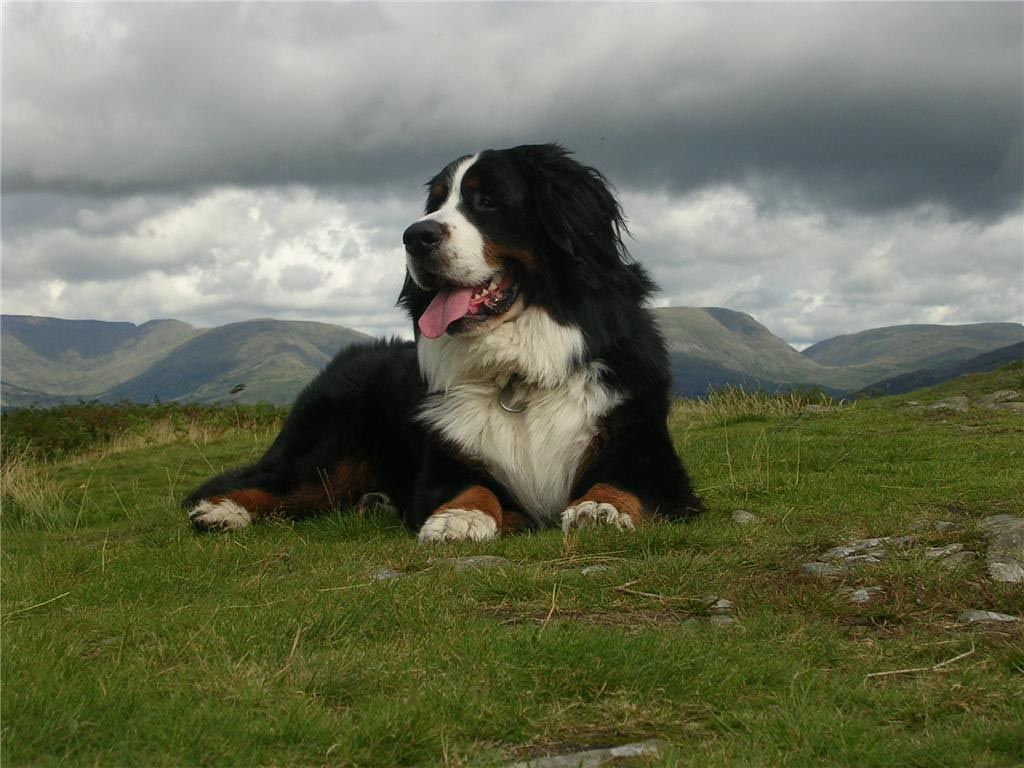 Bernese Mountain Dog And The Sky Wallpaper Dog Breeds Bernese Mountain Dog Burmese Mountain Dogs