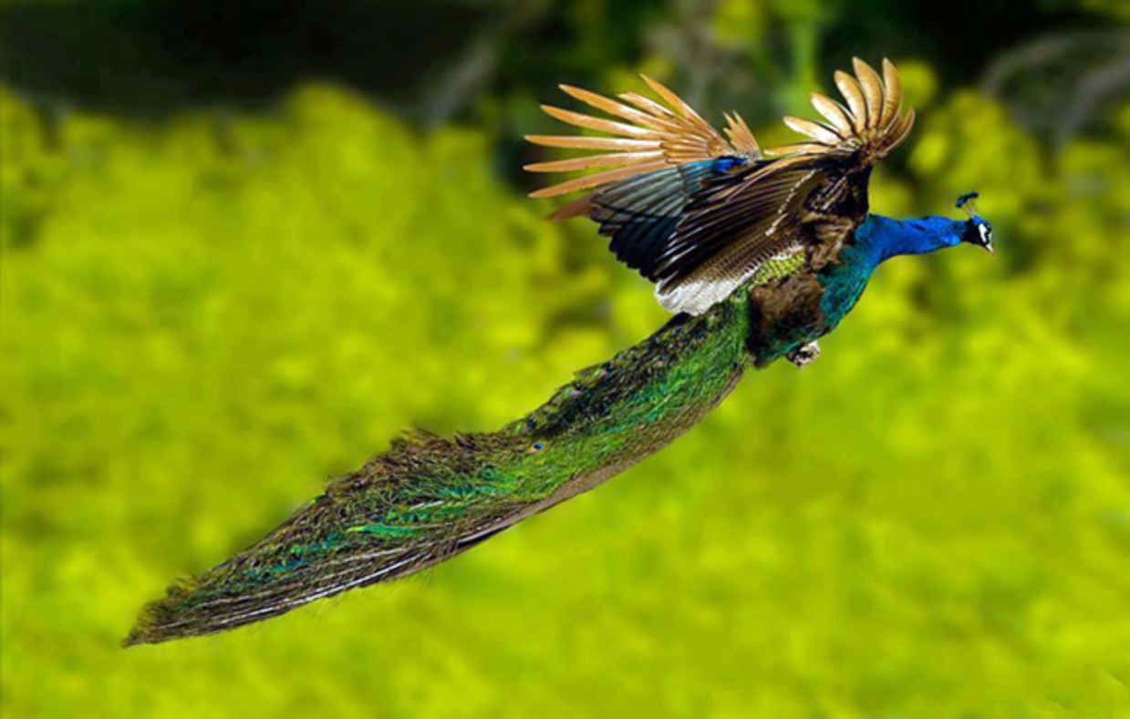Flying Peacocks Look Like Mythical Creatures Mythical Creatures - Flying peacocks look like mythical creatures