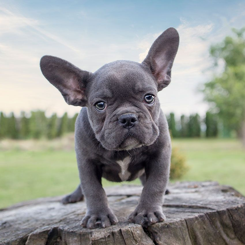 The Magnificent Appeal Of Rare Blue French Bulldogs French
