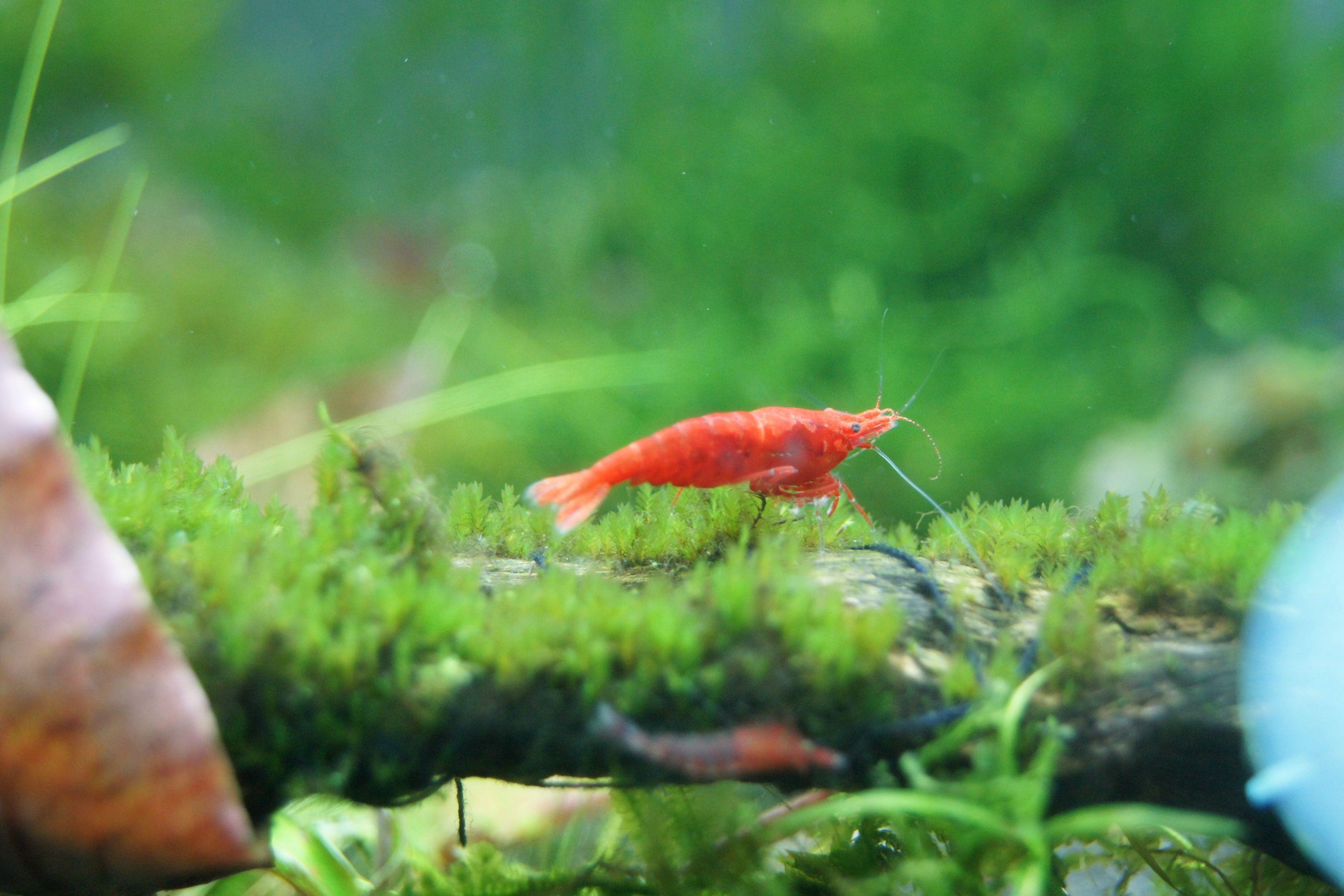 Cherry Shrimp on Mini Fissidens | Aqua | Cherry shrimp