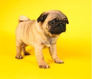 Miniature Pug Smooshies Pug Puppies For Sale Black Pug