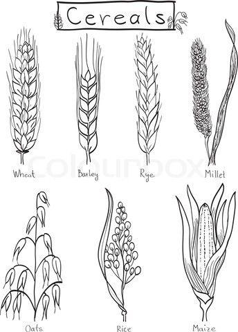 Drawings Of Grains 7 Species