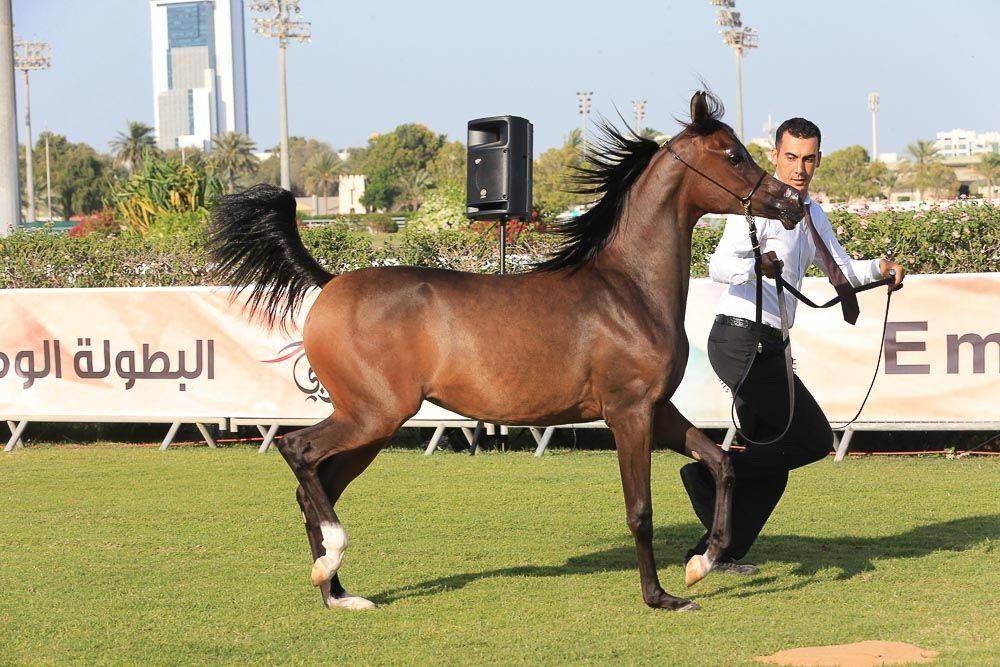 صور مقتطفات اليوم الأول من بطولة ابوظبي الوطنية ٢٠١٦ لجمال الخيول العربية Horses Arabians Arabian Horse