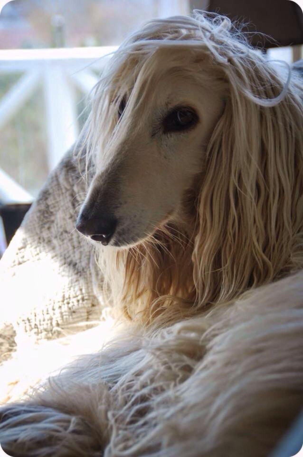 Moment's (mit Bildern) Hunde, Afghanischer hund, Schöne