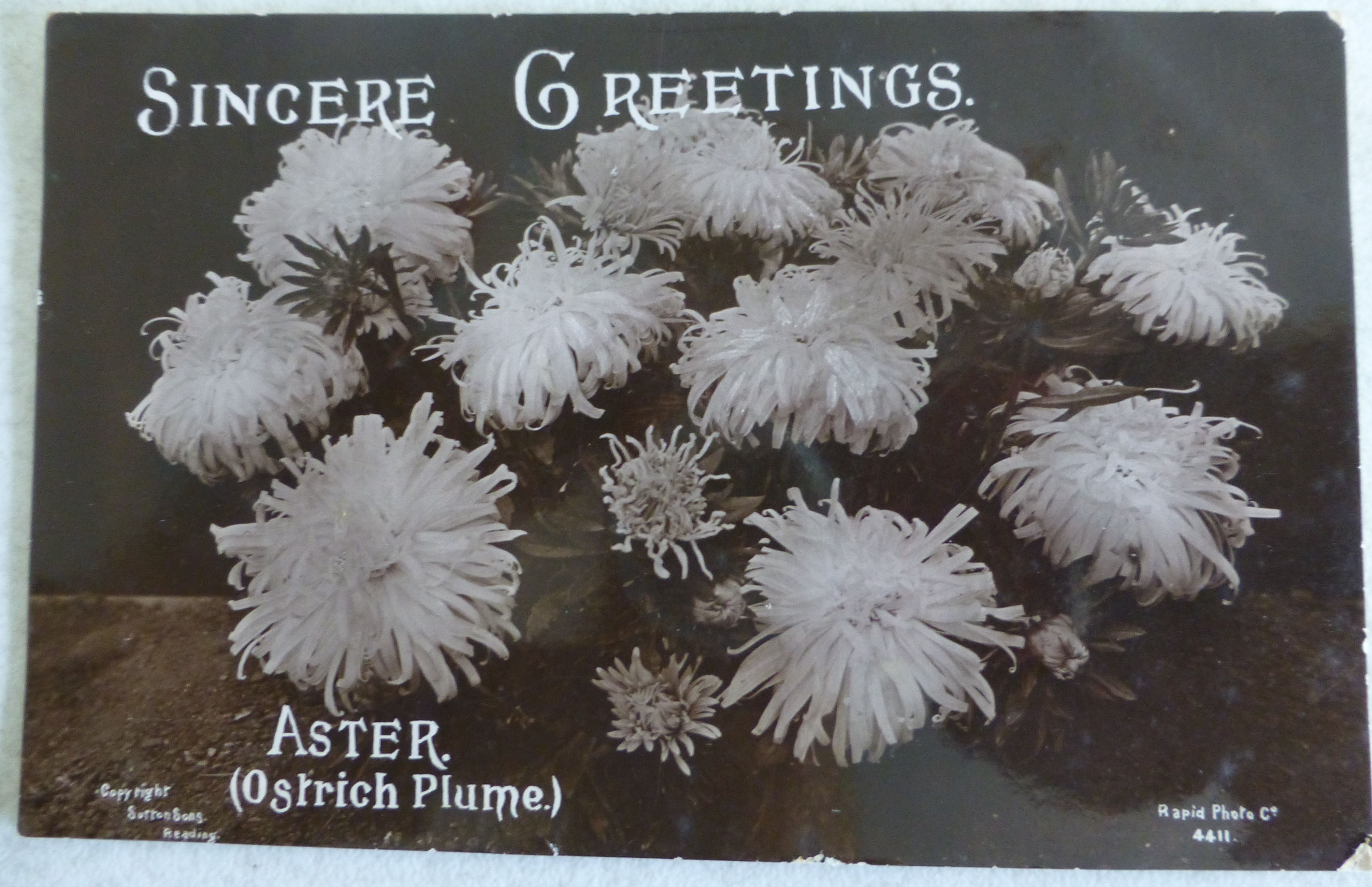A postcard copyright Sutton & Sons Reading, Sincere Greetings showing a bunch of Aster (Ostrich Plume) by the Rapid Photo Co.