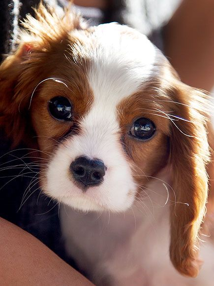 cavalier king charles' are the CUTEST puppies!