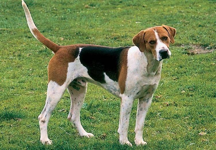 American Foxhound English Foxhound Foxhound Dog The Fox And