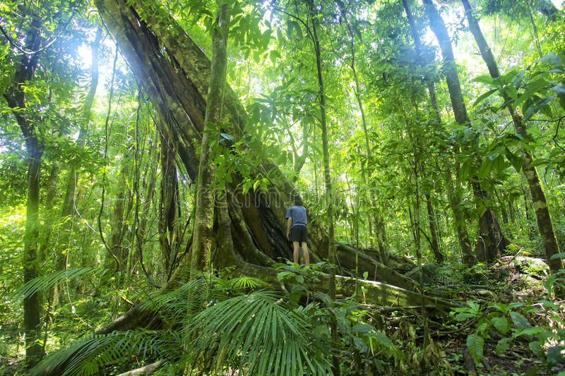 """rainforests have extraordinarily highs level of biological diversity or """"biodiversity"""". Rainforest Tree Mossman Gorge Man Standing Next To A Large Rainforest Tree In M Sponsored Gorge Man Standing Rainf Rainforest Trees Rainforest Tree"""
