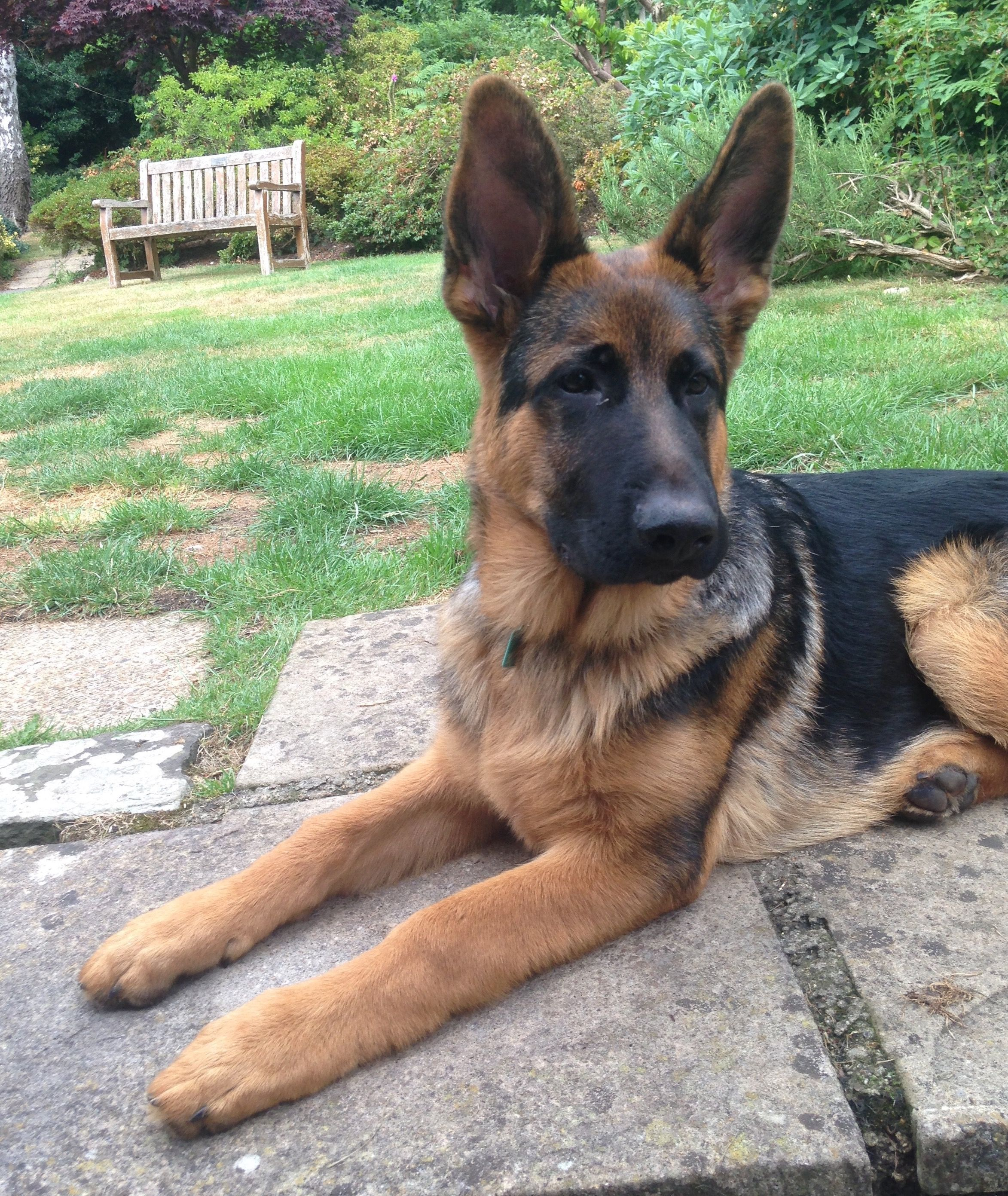 Little Big Ears Signa 5 Months Germanshepardpolice