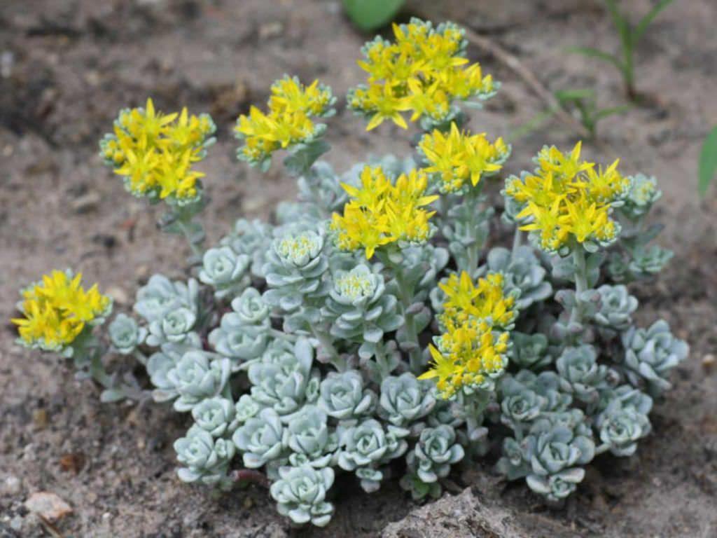 Sedum Spathulifolium Cape Blanco Cape Blanco Stonecrop