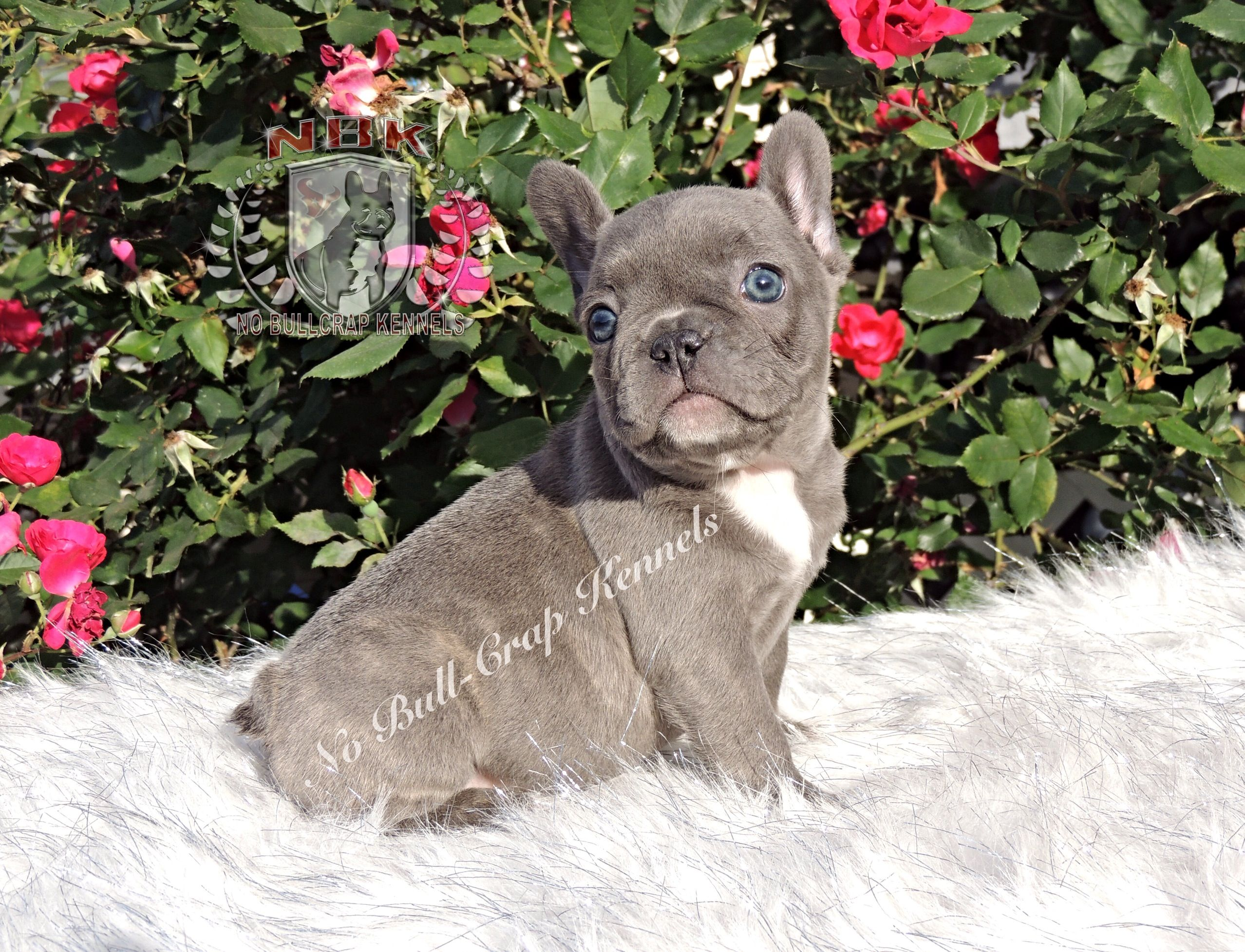 Blue French Bulldog Puppies For Sale French Bulldog Puppies