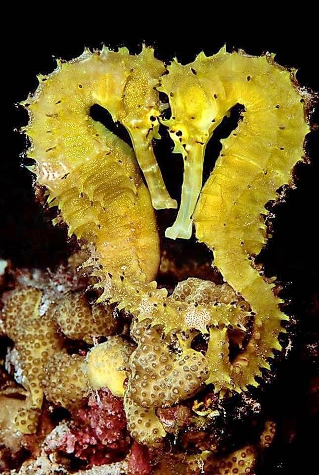 The tiger tail seahorse hippocampus comes is a species for Is a seahorse a fish