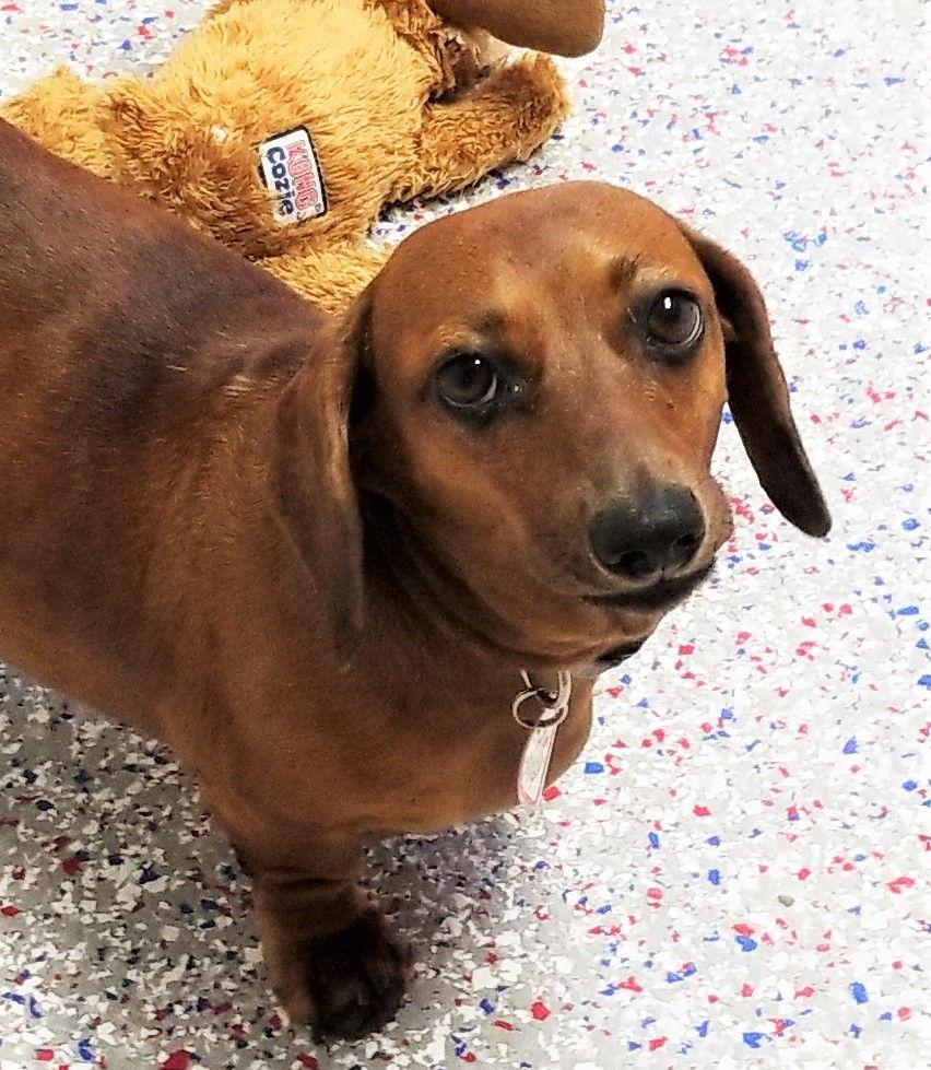 Dachshund dog for Adoption in Lewisburg, TN. ADN684397 on