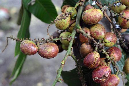 Matoa Buah Unik Khas Papua Yang Kaya Manfaat Http Www Perutgendut Com Read Matoa Buah Unik Khas Papua Yang Kaya Manfaat 4857 Fo Buah Kesehatan Kebun Herbal