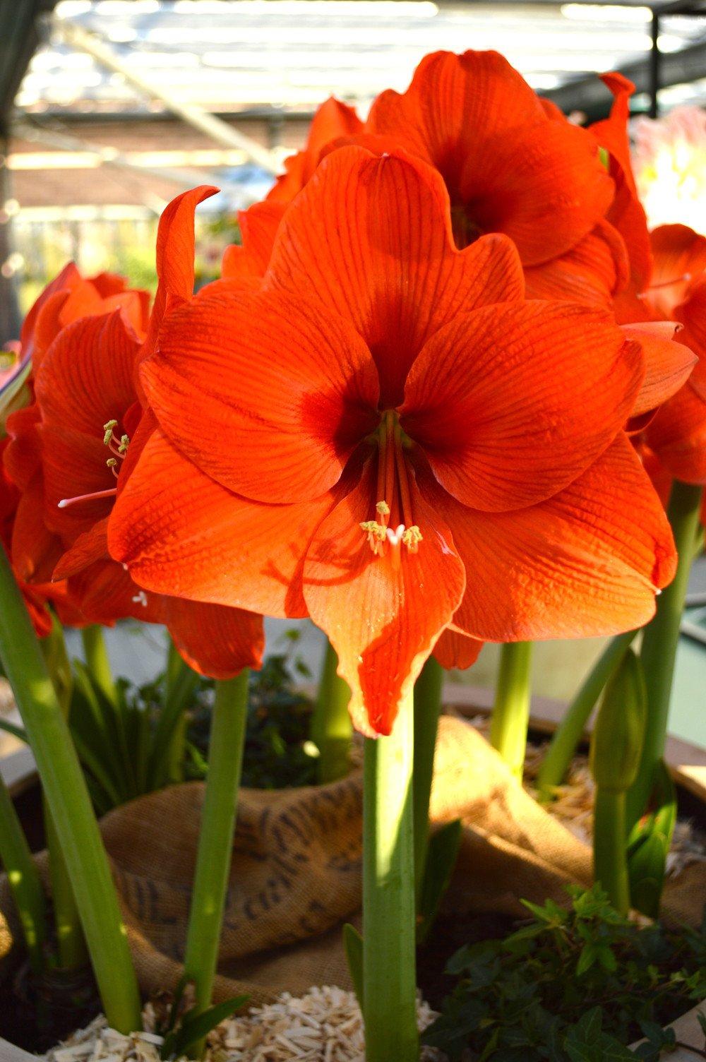 Jumbo Amaryllis Orange Desire Amaryllis Bulbs Amaryllis Amaryllis Flowers