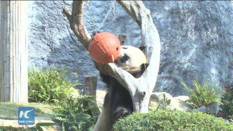 "China Xinhua News on Twitter: ""Panda's New Year Eve: Eating, playing and be happy! #HappyNewYear @TimesSquareNYC @TimesSquareBall https://t.co/MyoFYnio8T"""