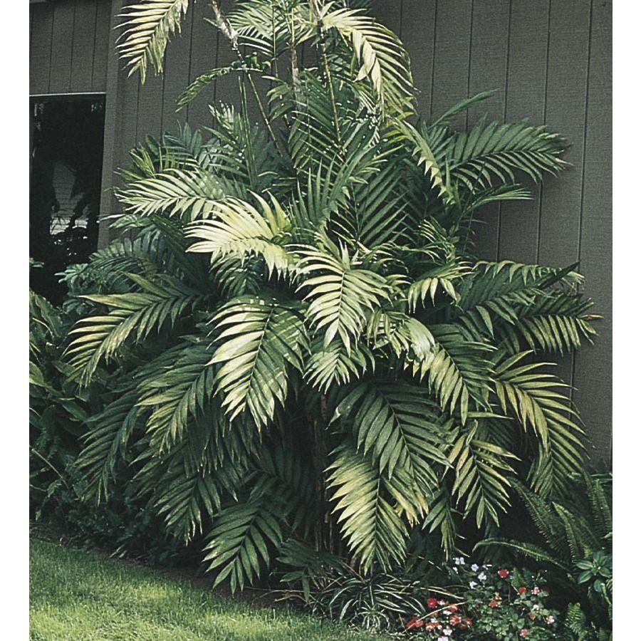 Cat Palm (LTL0008) Understory plants, Tropical