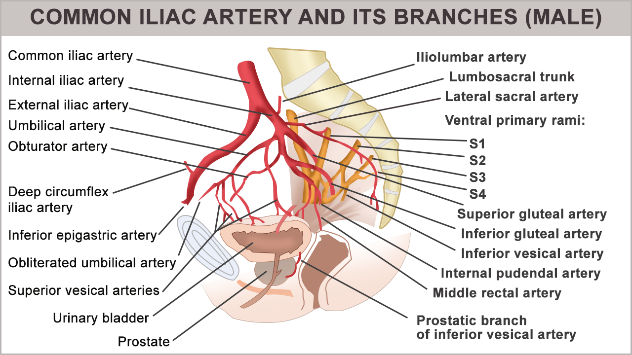Anatomy And Function Of The Common Iliac Artery With Labeled Diagrams Abdominal Aorta Arteries Anatomy