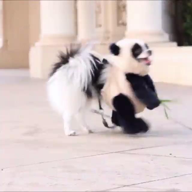 Pandog - Very Cute! #dogs #pets #funny #funnypetgifs
