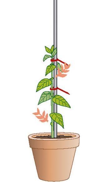 hochst mmchen selber ziehen so gelingt 39 s k belpflanzen pinterest garten pflanzen und. Black Bedroom Furniture Sets. Home Design Ideas