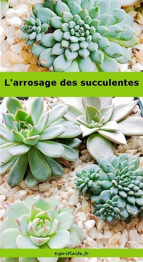 comment arroser les plantes grasses et les succulentes mon jardin pinterest plantes. Black Bedroom Furniture Sets. Home Design Ideas