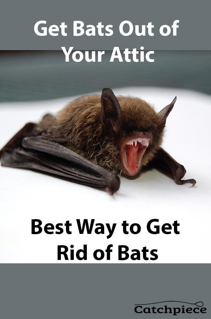 Best Way To Get Rid Of Bats Getting Rid Of Bats Bats In