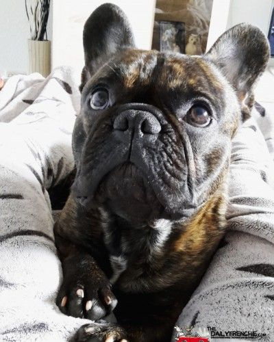 The Dailyfrenchie Franzosische Bulldoggenbabys Tiere Hund Und