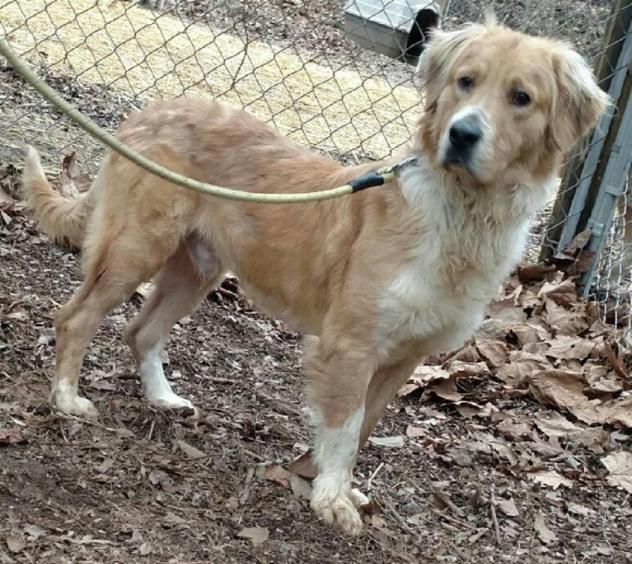 Adopt Alfie On Dogs Golden Retriever Golden Retriever Rescue Dogs