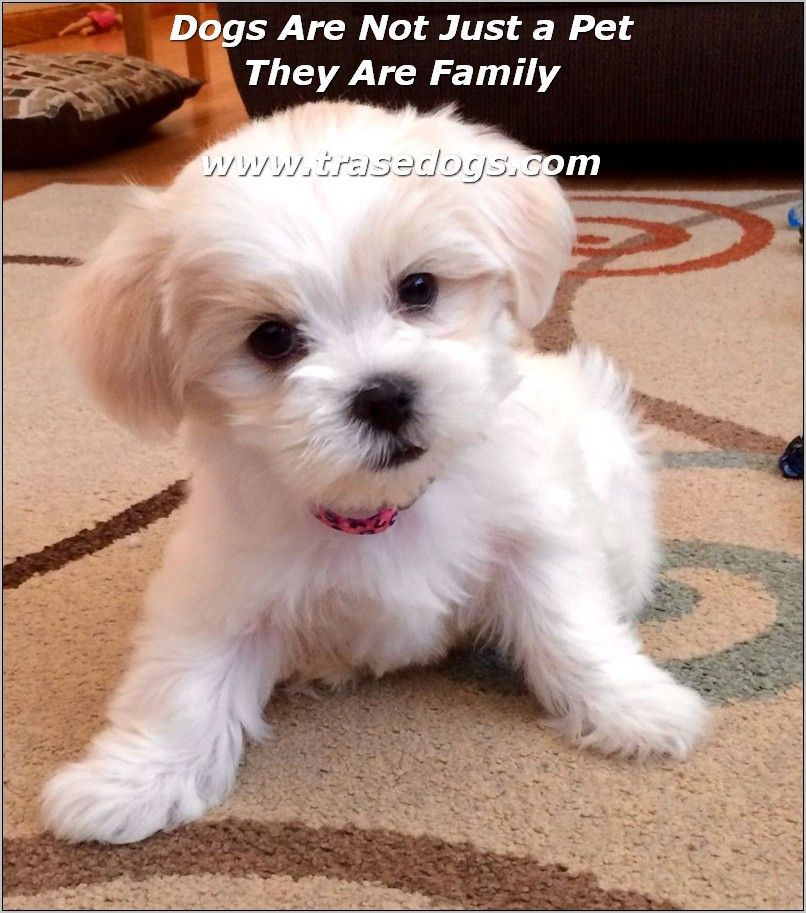 Experts Advice On Dog Care Puppy Haircut Puppies Maltese Shih Tzu