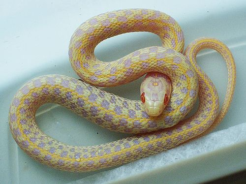 Albino Checkered Garter Snake Snake Pet Style Pet Snake