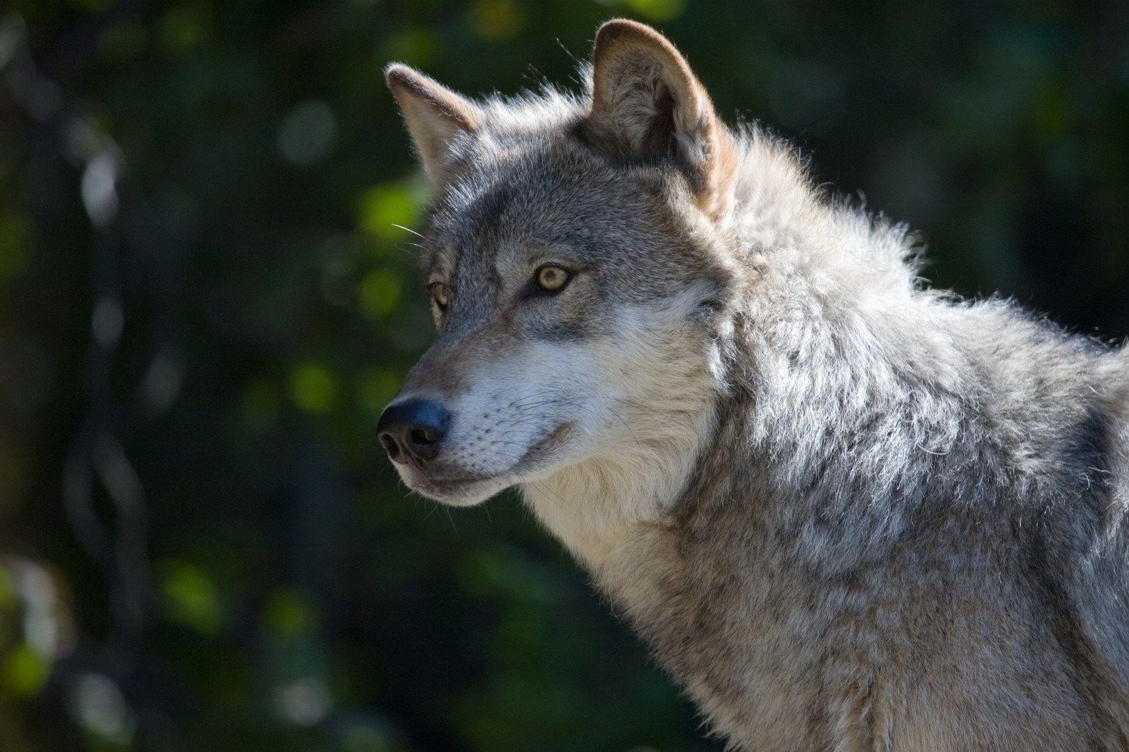 звуки фотографии серого волка лист бумаги