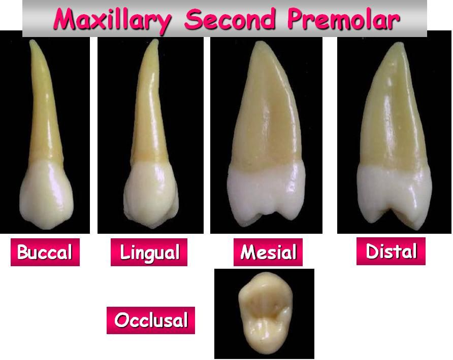 Maxillarysecondpremolaranatomyg 892710 Teeth Pinterest
