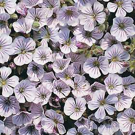 Gypsophila Repens White 500 Seeds Perennials Gypsophila Babys Breath