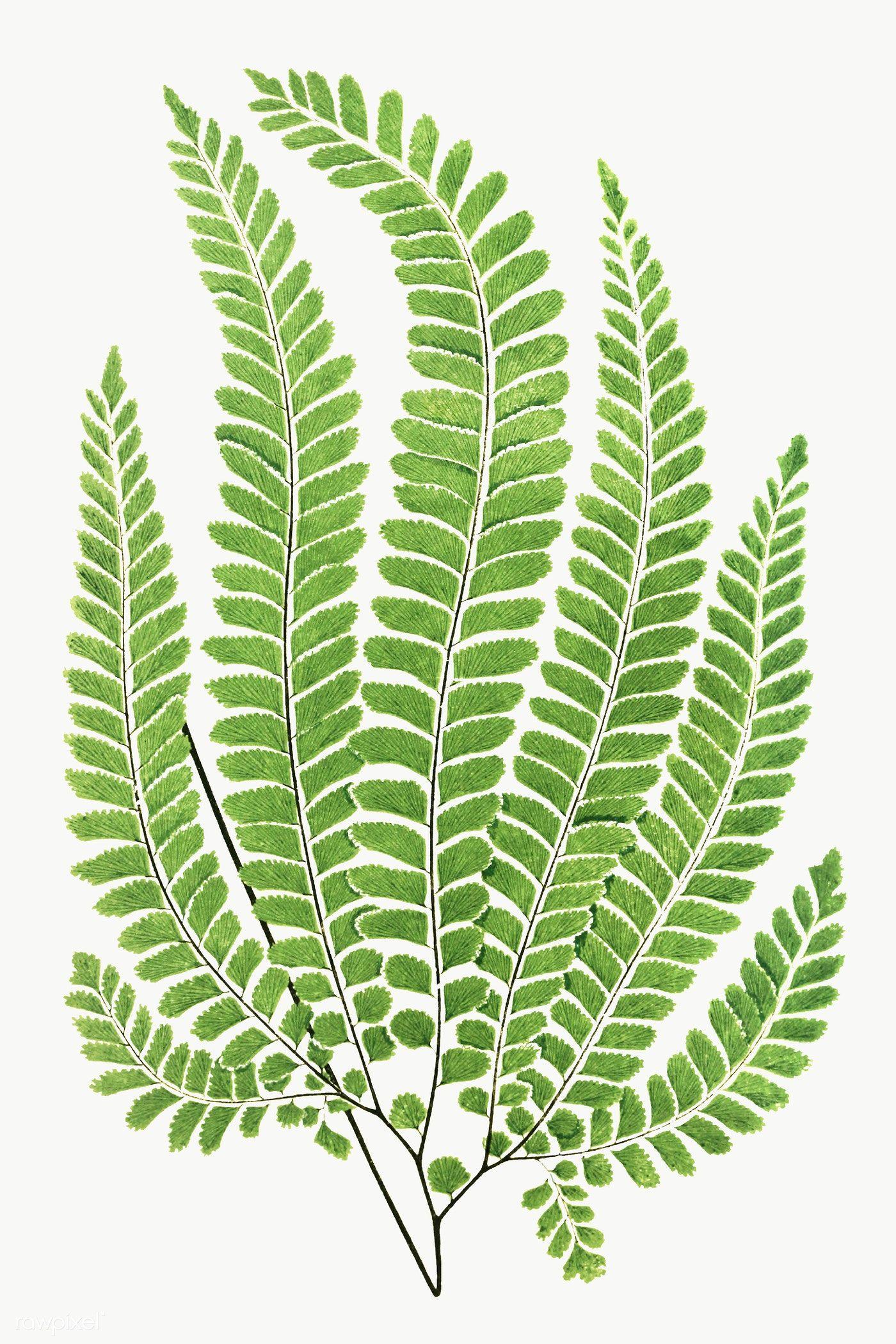Adiantum Pubescens Fern Leaf Illustration Transparent Png Premium Image By Rawpixel Com Donlaya Leaf Illustration Tropical Leaves Illustration Plant Art