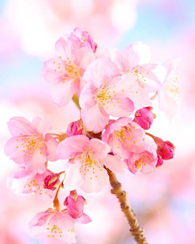 Japan Sakura Cherry Blossoms Flower Spring Pink Cherry Blossom White Cherry Blossom Sakura