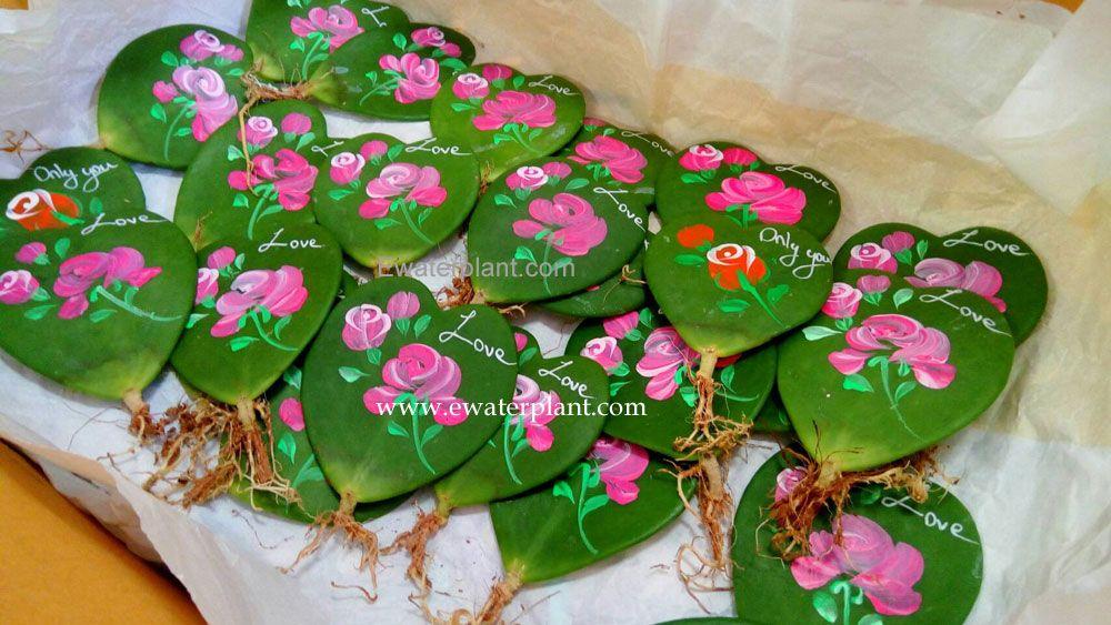 Painted Hoya Kerrii Heart Leave Nursery In Thailand