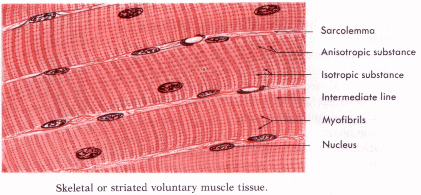 Skeletal Muscle Labeled Diagram Labeled Cardiac...