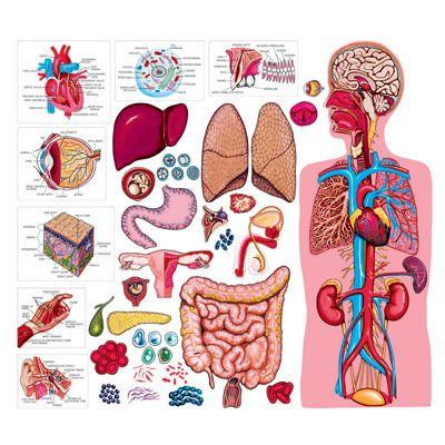 human body for felt board - great for body development | science, Muscles