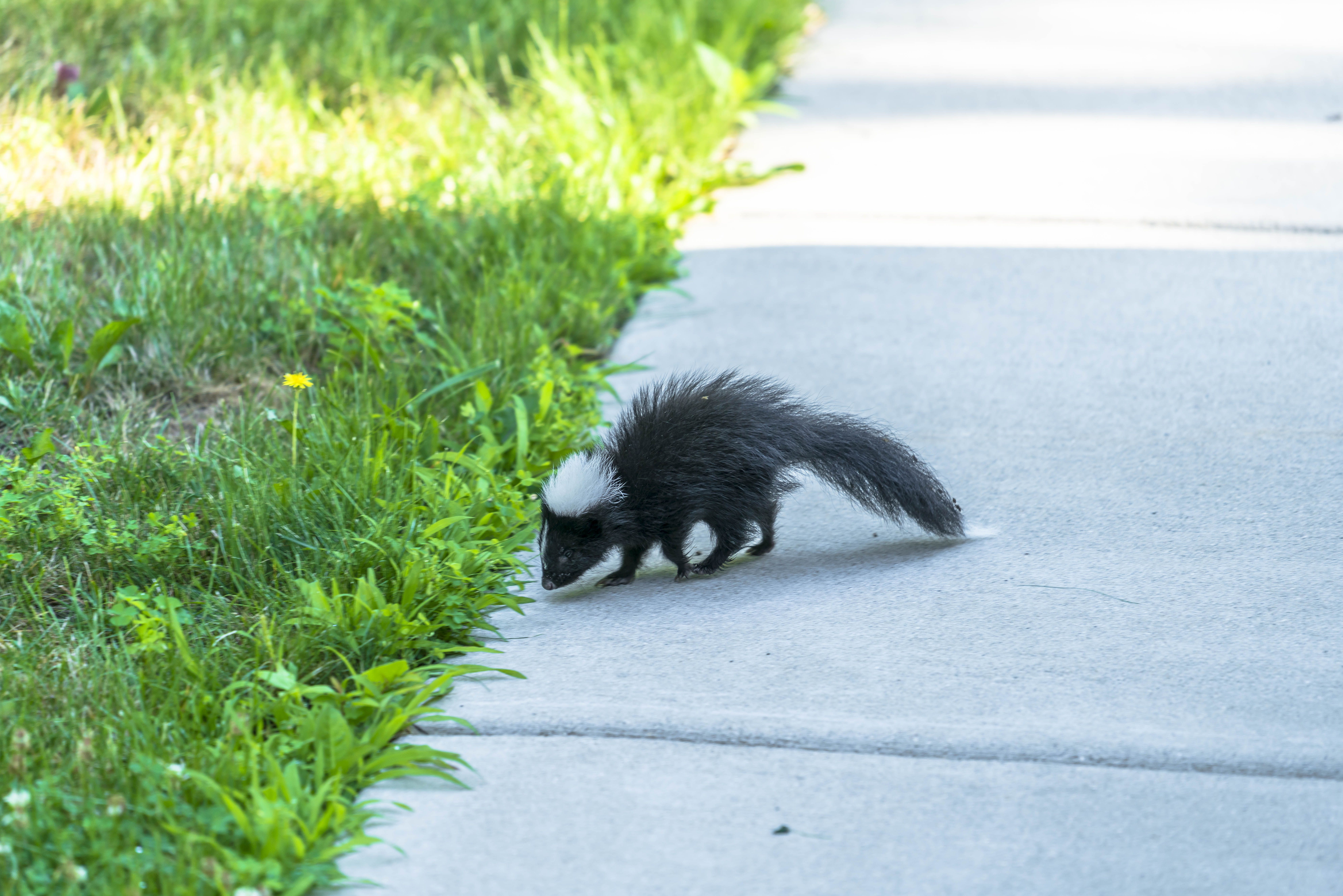 A little baby skunk to brighten your morning :)