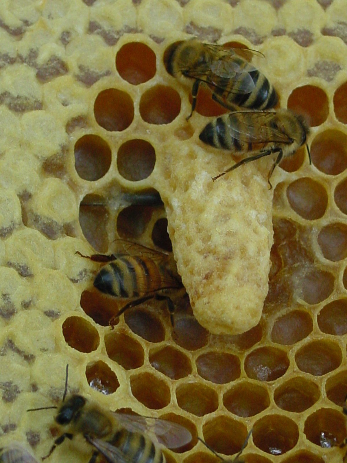 Queen cell: Several queens are laid in the queen cell. The ...