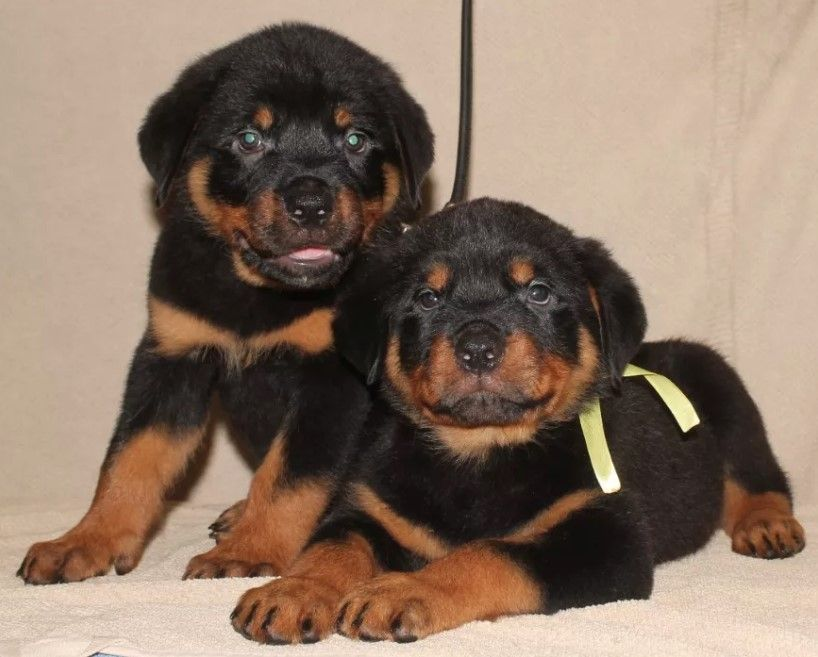 45 Aggressive Male Rottweiler Names Rottweiler Rottweiler Names